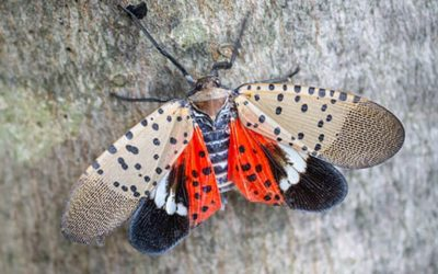 Update on the Spotted Lantern Fly Quarantine Zones